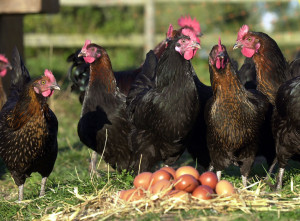 Burford Brown Chickens